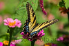 EAstern Tiger Swallowtail - female<br /> <br /> Kanuga Conferences, Hendersonville, NC