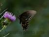 Spicebush Swallowtail<br /> Papilio troilus
