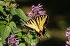 Eastern Tiger Swallowtail - male<br /> <br /> Delaplane, VA