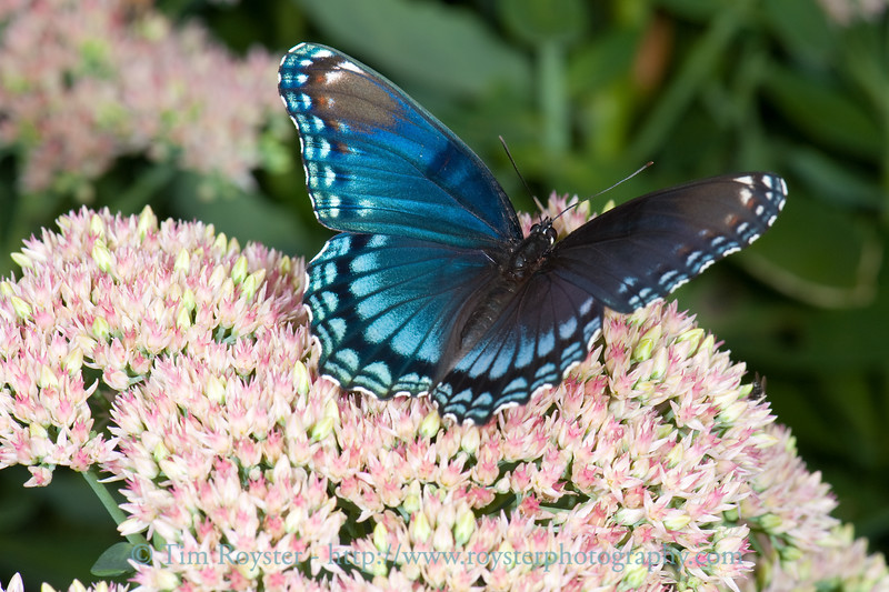 Red-spotted purple butterfly on sedum flowers