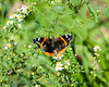 Red admiral butterfly on aster wildflower