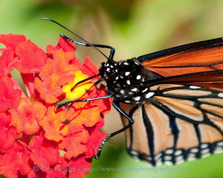 Monarch butterfly on lantana flower