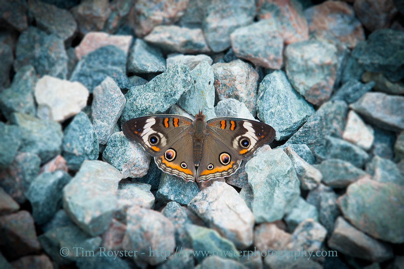 Buckeye butterfly in gravel