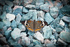 Buckeye butterfly in gravel
