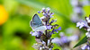 Eastern tailed-blue butterfly on ajuga flower