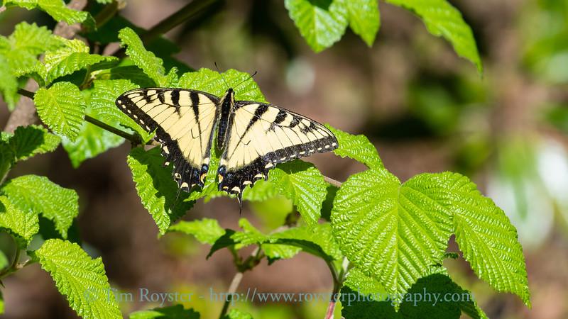 Eastern tiger swallowtail on viburnum Spring leaves