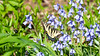 Eastern tiger swallowtail butterfly on hyacinth flower