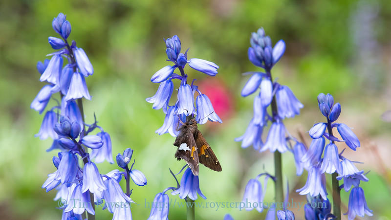 Silver-spotted skipper on hyacinth flowers