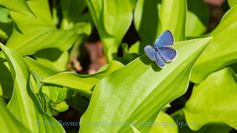 Eastern tailed-blue butterfly on hosta leaf