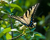 Eastern tiger swallowtail on plant in Cranesville Swamp in Western Maryland