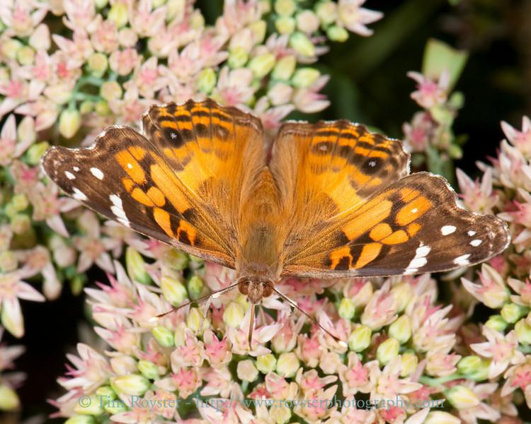 American painted lady butterfly on sedum flowers