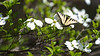 Eastern Tiger Swallowtail on dogwood bloom