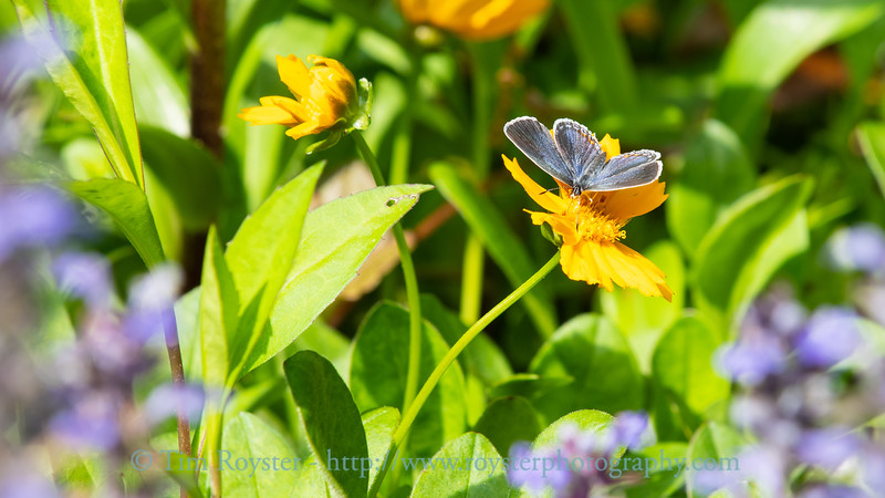 Eastern tailed-blue butterfly on coreopsis flower