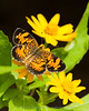 Pearl crescent butterfly on melampodium flower