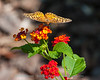 Variegated frittillary butterfly on lantana flower