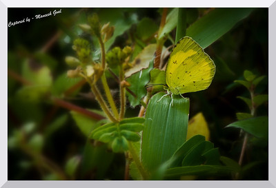 Three-spot Grass Yellow?