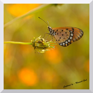 Tawny Coaster Butterfly