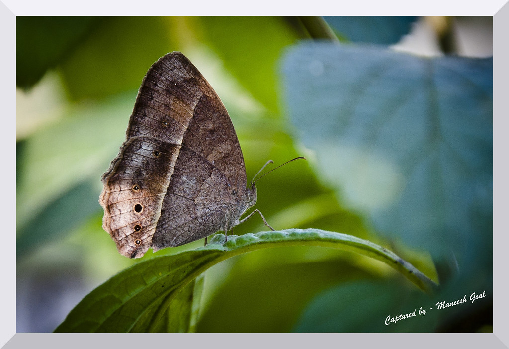 Common Bush Brown Butterfly