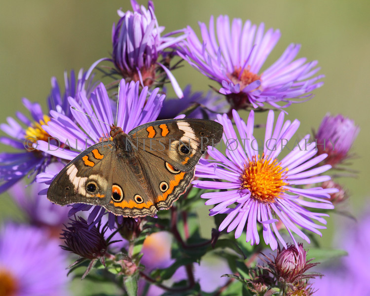 Common Buckeye Butterfly on a bouquet of New England Aster.