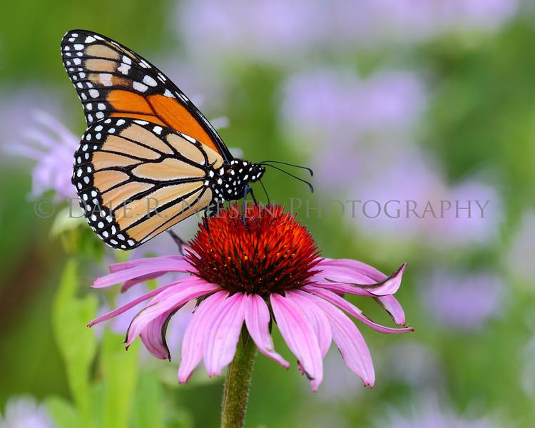 Monarch Butterfly on Purple Cone Flower