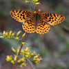 Meadow Fritillary