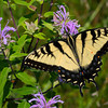 Eastern Tiger Swallowtail Butterfly (male)
