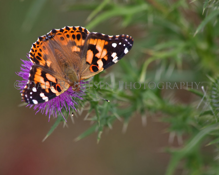 Painted Lady Butterfly on a thistle flower.