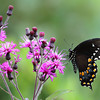 Black Swallowtail Butterfly on Ironweed