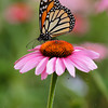 Monarch Butterfly on Purple Cone Flower