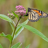 Female Monarch Butterfly laying her eggs on Joe-Pye Weed.