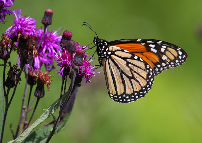 Monarch Butterfly on Ironweeed