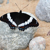 White Admiral Butterfly on the shore of Lake Superior.