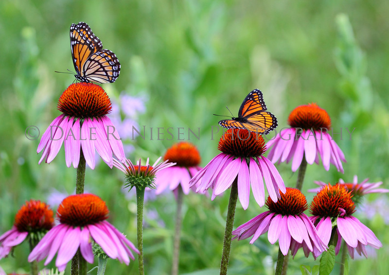 Two Viceroy Butterflies on a Purple Cone Flowers