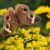 Common Buckeye Butterfly on Golden Rod