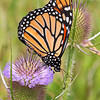 Monarch Butterfly on a Teasel cone
