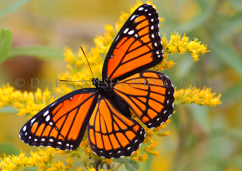 Viceroy Butterfly on Goldenrod