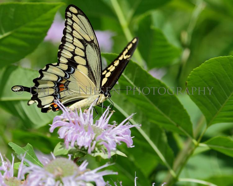 Giant Swallowtail Butterfly, Oakwoods Metro Park, New Boston, Michigan