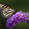 Monarch Butterfly on Purple Butterfly Bush