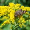 Buckeye  Butterfly at Oakwoods Metro Park, New Boston, Michigan 9/11/2016