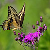 Giant Swallowtail Butterfly a somewhat rare butterfly with one of if not the largest wing spans of North American butterflies at nearly 6 inches.