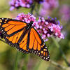 Monarch Butterfly taken on Mackinac Island October 2011.