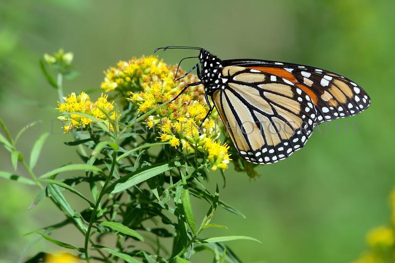 Monarch Butterfly at Oakwoods Metro Park, New Boston, Michigan 9/11/2016