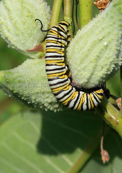 Monarch Butterfly larvae on Common Milkweed.