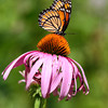Viceroy Butterfly on Purple Cone Flower, Oakwoods Metro Park, New Boston, Michigan