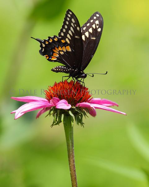 Black Swallowtail Butterfly on a Purple Cone Flower