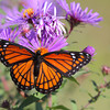 Viceroy Butterfly on New England Aster.