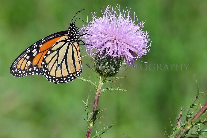 Monarch Butterfly at Oakwoods Metro Park, New Boston, Michigan 9/11/2016