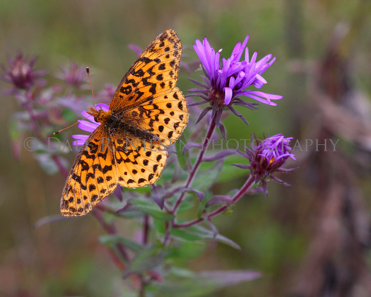 Meadow Fritillary on a New England Aster