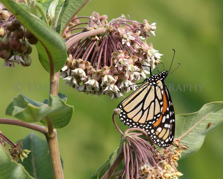 Female Monarch Butterfly feeding on Milkweed.