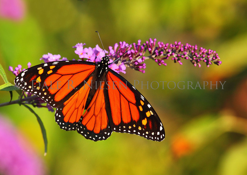 Monarch butterfly reflecting the warm glow of the setting sun.